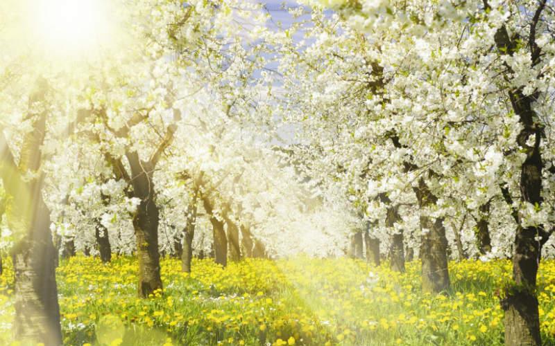 Pommiers en fleurs en Normandie 1