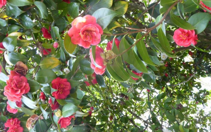 rb-kamelienblüte-Arn-Laesser5