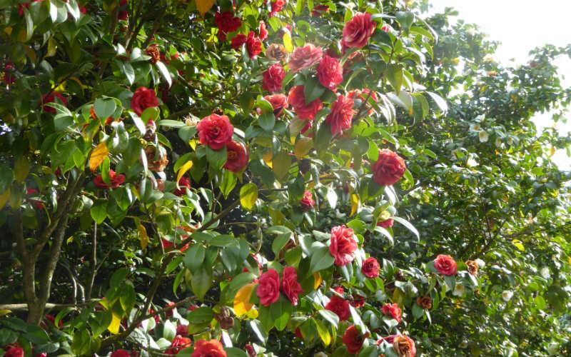 rb_arn-laesser_kamelienblüte-toskana2