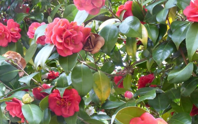 rb_arn-laesser_kamelienblüte-toskana3