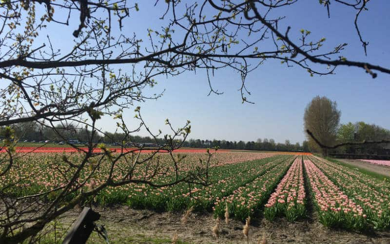 rb_schäfer_tulpenblüte-dampfzug15