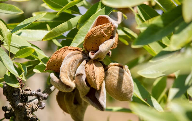 Mandelbaumblüten Mit Mandelfrüchten