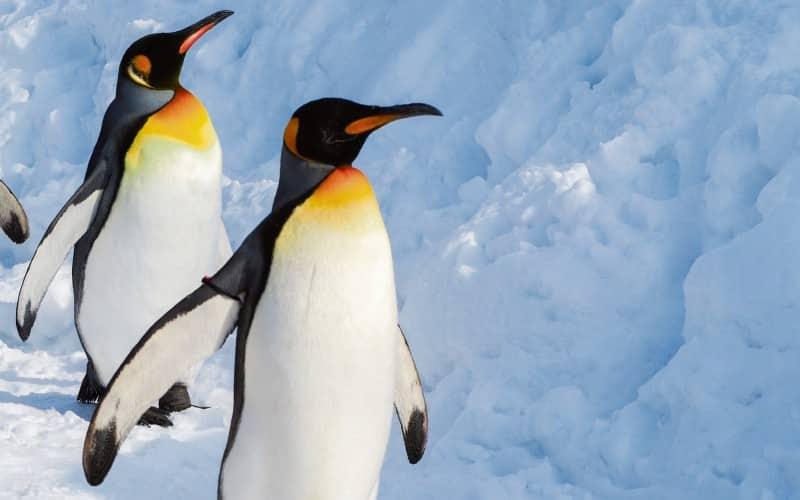 Zwei Königspinguine Im Eis