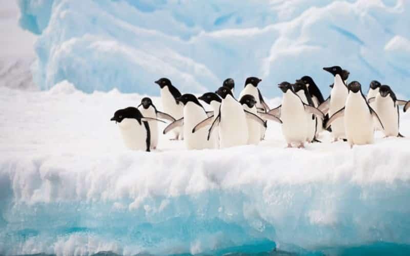 Pinguine Springen Vom Eis Ins Wasser