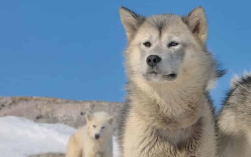 Zwei Weisse Schlittenhunde