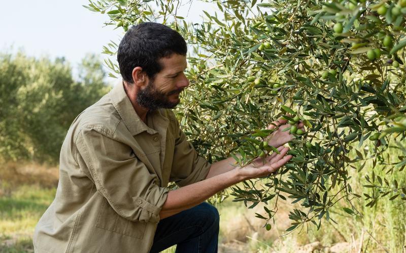Récolte des olives en Toscane 1