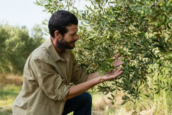Olivenernte-TOP